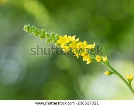 Medicinal herb Agrimony blooming in summer of the Japanese forest