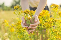Medicinal herbs growing in wild meadow. Yellow blooming St. John's wort hypericum in girls hand. Natural herbal medicine, ecology, summer season