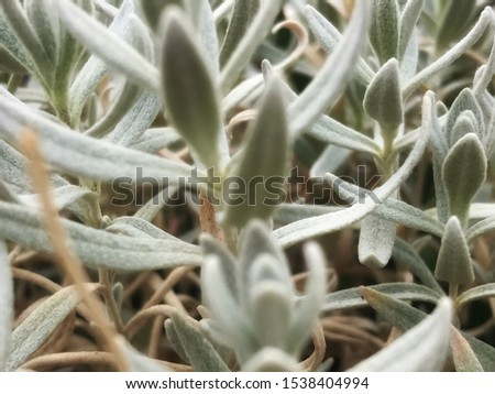 Medicinal homegrown organic sage closeup