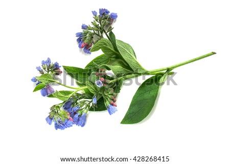 medicinal plant comfrey ...