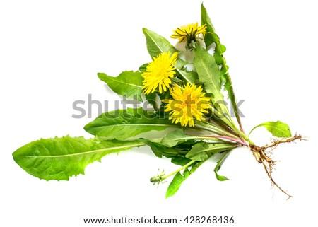 Medicinal plant dandelion (Taraxacum officinale) on a white background. Dandelion - edible plant and nectariferous  #428268436