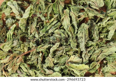 medicinal plant mint, background from leaves of mint, tea.