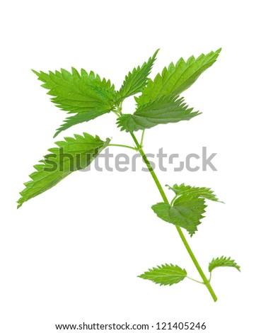 Medicinal plant. Nettle