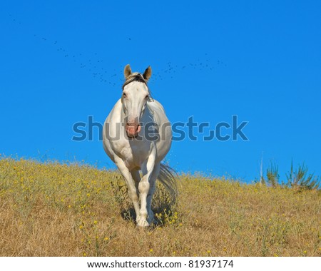 Medicine Hat Tennessee Walker in Pasture with birds flying behind