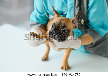 medicine, pet care and people concept - close up of french bulldog dog and veterinarian doctor hand at vet clinic - Image Photo stock ©