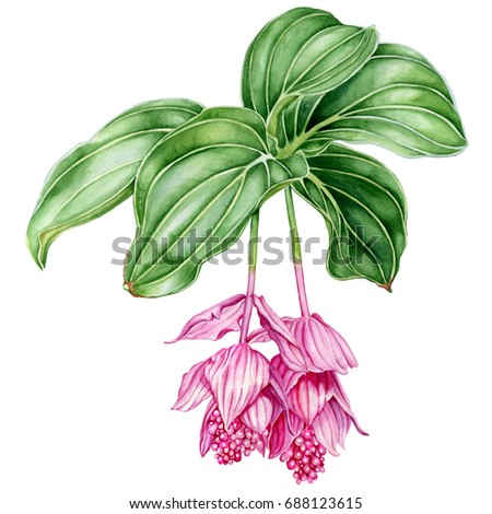 Medinilla. Beautiful tropical flower. Watercolor illustration isolated on white background.