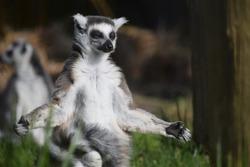 Meditating Ring-tailed Lemur Sunbathing and enjoying in the forest