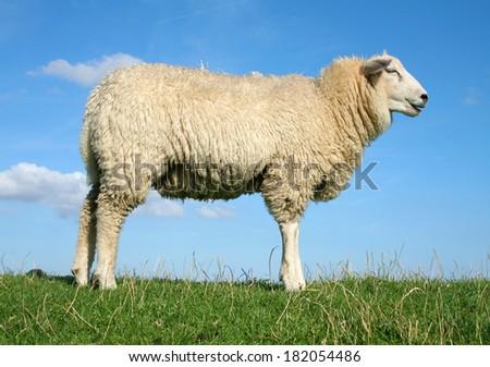 Meditating sheep standing on the seawall.
