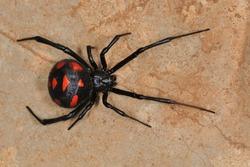 Mediterranean black widow (Latrodectus tredecimguttatus). Wild female in Sardinia.
