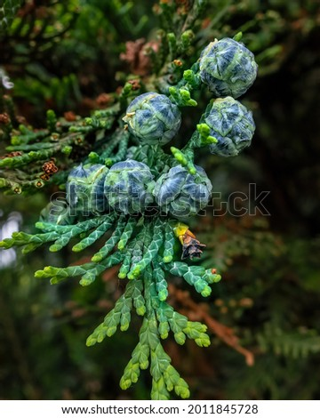 Mediterranean Cypress Young  Foliage And Cones Cupressus Sempervirens Italian Cypress Tuscan Cypress Persian Cypress Pencil Pine ストックフォト ©