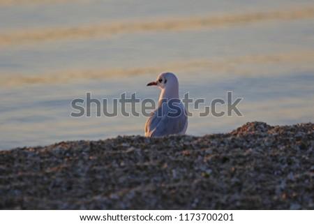 Mediterranean gull at sunrise Latin larus melanocephalus similar to a black-headed gull Latin larus ridibundus family laridae looking out to sea on a beach by the Adriatic sea near Ancona Italy