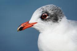 Mediterranean gull in switzerland in winter