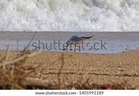 Mediterranean gull or black-headed gull Latin name larus melanocephalus or ridibundus family laridae close up on the beach at sunrise by the Adriatic sea Italy pecking on a plastic rope