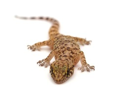 Mediterranean house gecko isolated on white background, Hemidactylus turcicus