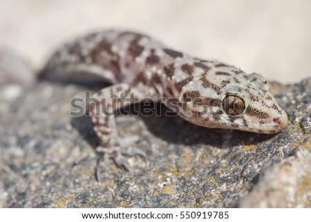 Mediterranean House Gecko Or Turkish Gecko Hemidactylus Turcicus