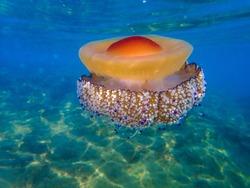 mediterranean jellyfish . jellyfish in Mediterranean Sea