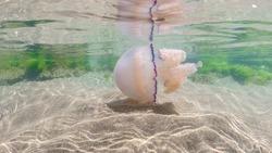 mediterranean jellyfish . jellyfish in Mediterranean Sea swimming and dancing, barrel jellyfish in Mediterranean Sea, jellyfish . jelly . underwaterjellyfish, underwater Animal.