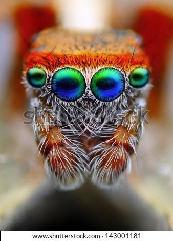 mediterranean jumping spider...