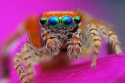Mediterranean jumping spider (Saitis barbipes)