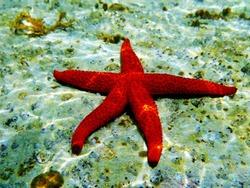 Mediterranean Red Sea Star - Echinaster sepositus