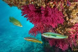 Mediterranean sea colorful marine life underwater, soft coral with wrasse fish, Cap de Creus, Costa Brava, Spain