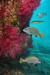 Mediterranean sea life underwater, colored sea-whip soft coral with several fish, Cap de Creus, Costa Brava, Spain