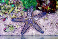 Mediterranean Sea sand Starfish - Astropecten spinulosus