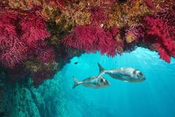 Mediterranean sea underwater marine life, colored soft coral with gilt-head bream fish, Cap de Creus, Costa Brava, Spain