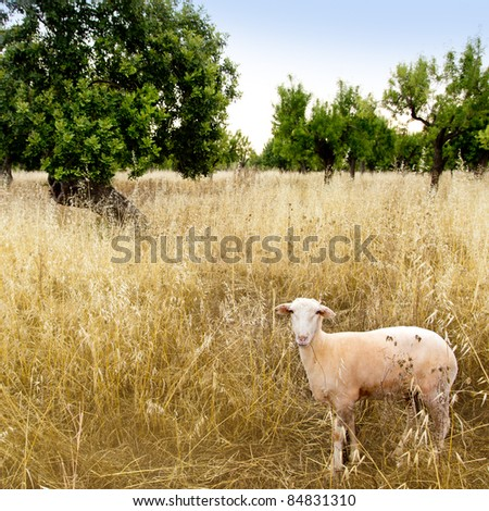 Mediterranean sheep on wheat and almond trees field in Majorca spain