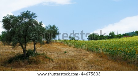 Mediterranean Summer Fields With Sunflower Cultivation And Olive ...