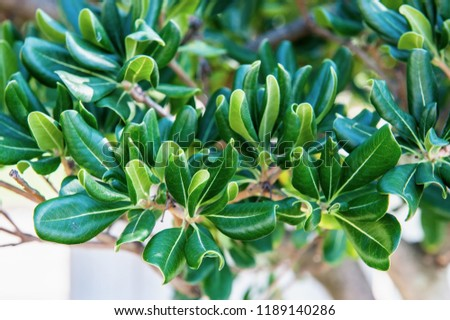 Mediterranean vegetation on the wall. Evergreen shrub with leathery leaves
