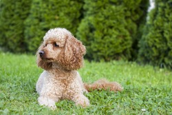 Medium apricot-colored poodle lying on the grass surrounded by greenery and posing proudly for photos.
