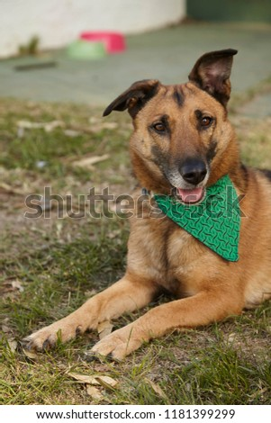 medium brown dog looking at camera with out of focus bowls and green bandana #1181399299