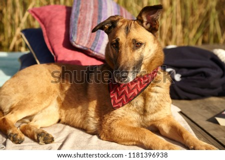 Medium brown dog lounging in sun #1181396938