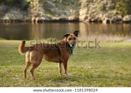 medium brown dog on green grass with lake in background #1181398024