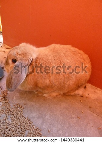 Medium brown rabbit with brown ears #1440380441