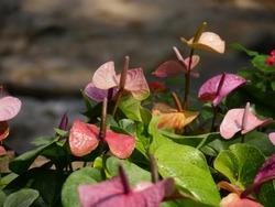 Medium close up of anthurium flowers in the garden