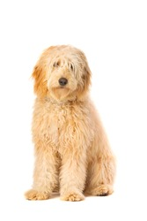 Medium Golden Doodle sitting in front of a white background