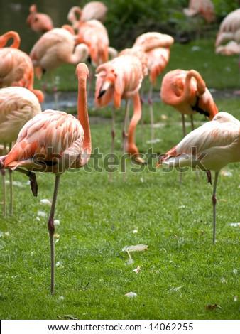 Medium group of flamingos eating filtering plankton