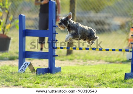 Medium Schnauzer jumping over a fence in a test of agility.