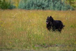 Medium sized sturdy black dog with long black fur running around, happy and free in the tall grass of a mountain meadow surrounded by lush pine trees