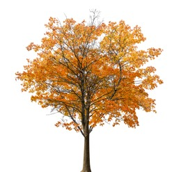 medium straight autumn maple tree isolated ob white background