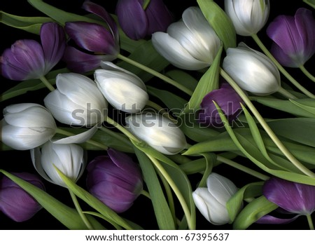 Medley of purple and white tulips
