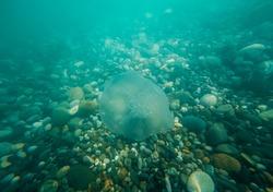 Medusa Aurelia aurita under the water of the Black Sea