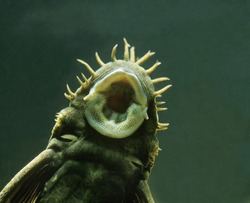 Medusa Pleco, ancistrus ranunculus, Close up of Mouth