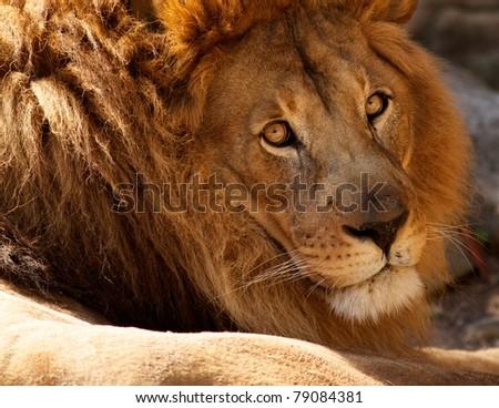 Meek Lion