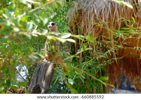 meerkat  #660885592