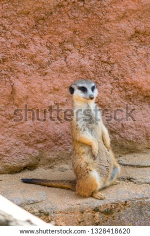 Meerkat animal (latin name Suricata Suricatta) in the wild. Detail of african animal walking on the ground. Watchful guarding animal is guarding on nearby area.