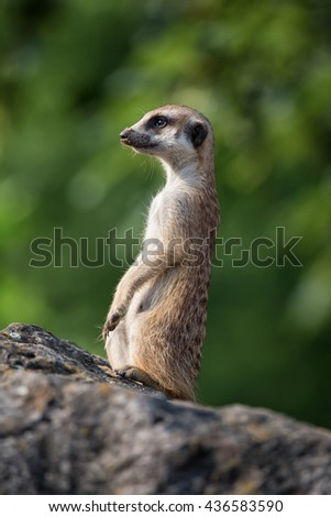 Meerkat close up.