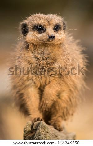 meerkat close up/Meerkat